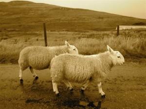 Or sheep!