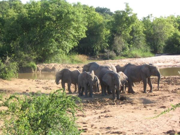Yankari_Elephants