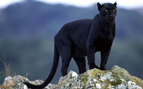 black-panther-anshi-dandeli-national-park