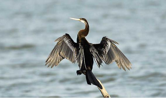 Darter bird at Gudavi Bird Sanctuary. Image source Gundimane http://www.gundimane.com/gallery/gudavi-bird-sanctuary